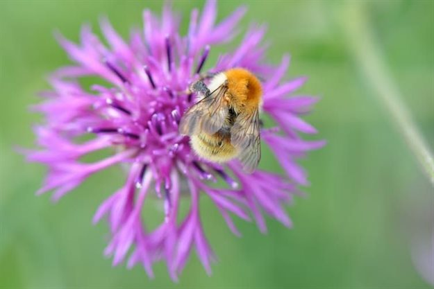 The brown-banded carder bee is just one of the species supported by ecomimicry approaches to design. Source: Stuart Connop, author provided